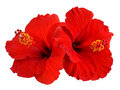 Red hibiscus on white background Royalty Free Stock Photo