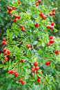 Red hips with leaves. Royalty Free Stock Photos