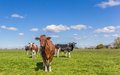 Red Holstein cow in the dutch landscape Royalty Free Stock Photo