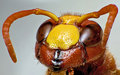 red Hornet (Stinger) Royalty Free Stock Photo