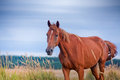 Red horse in field horses summer outdoor portrait Stock Photography