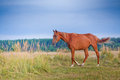 Red horse in field horses summer outdoor portrait Stock Photos