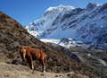 The red horse is grazing in the mountains of nepal trekking rrugë rreth manaslu Royalty Free Stock Photography