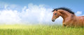 Red horse in high summer grass banner against sky Royalty Free Stock Image