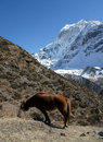 Red horse in the mountains of nepal trekking rrugë rreth manaslu Royalty Free Stock Images
