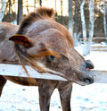 Red horse plays brown eyes animals nature farm village artiodactyls winter Stock Images