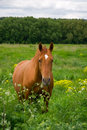Red horse a portrait of on green field at day Royalty Free Stock Image