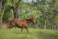 Red horse in the red halter running green forest Stock Image