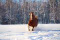 Red horse runs gallop in winter Royalty Free Stock Image