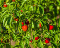 Red hot cherry peppers on plant Royalty Free Stock Photo