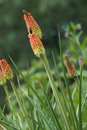 Red hot poker Royalty Free Stock Photography