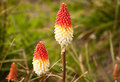 Red Hot Poker or Tritoma (Kniphofia uvaria) Stock Images