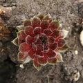 Red houseleek sempervivum tectorum close up view Royalty Free Stock Photos