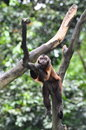 Red Howler monkey Stock Image