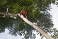 Red howler monkey alouatta seniculus moving around high up in a tree tambopata rain forest peru Stock Images
