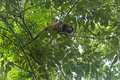 Red howler monkey alouatta seniculus moving around high up in a tree tambopata rain forest peru Royalty Free Stock Photo