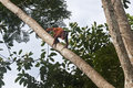 Red howler monkey alouatta seniculus moving around high up in a tree tambopata rain forest peru Stock Photography