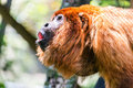 Red Howler Monkey Alpha Male Royalty Free Stock Photo