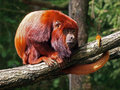 Red howler monkey sitting on a branch Stock Photo