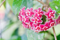 Red Hoya flowers. Hoya parasitica Roxb. Royalty Free Stock Photo