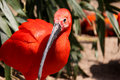 Red Ibis Stock Photo