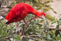 Red ibis bird portrait while looking at you Stock Image