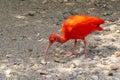 Red ibis Royalty Free Stock Photo