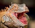Red iguana Royalty Free Stock Photo
