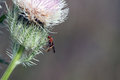 Red imported fire ant solenopsis invicta full body image of on a thistle in southern florida Royalty Free Stock Images