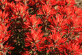 Red Indian paintbrush Royalty Free Stock Photos