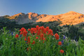Red Indian Paintbrush in the Utah mountains. Royalty Free Stock Photo