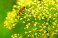 Red insect on yellow flower Royalty Free Stock Photo