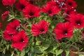Red Ipomoea purpurea flower Royalty Free Stock Photo