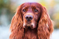 Red irish setter Royalty Free Stock Photography
