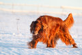 Red irish setter Stock Images