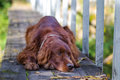 Red irish setter dog Stock Photo