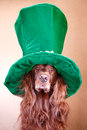 Red irish setter dog in green hat Stock Photography