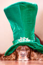 Red irish setter dog in green hat Royalty Free Stock Image
