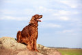 Red irish setter dog on rock Royalty Free Stock Photos