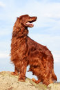 Red irish setter dog on rock Stock Photos