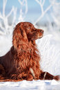 Red irish setter dog in snow field Stock Photos