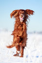 Red irish setter dog in snow field Royalty Free Stock Images