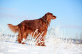 Red irish setter dog in snow field Stock Photography