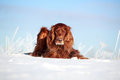 Red irish setter dog in snow field Stock Photo