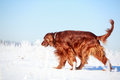 Red irish setter dog in snow field Stock Image