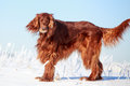 Red irish setter dog in snow field Royalty Free Stock Image