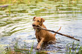 Red irish terrier pulling a wooden stick from a lake swims on the Stock Images