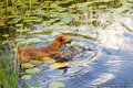 Red irish terrier pulling a wooden stick from a lake swims on the Royalty Free Stock Photography