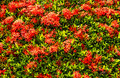 Red ixora close up background Stock Photography