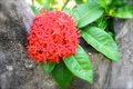 Red ixora flowers emotional recordings from the tropical paradise of seychelles in the indian ocean off africa Stock Photo